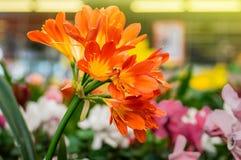 Πορτοκαλιά κινηματογράφηση σε πρώτο πλάνο λουλουδιών miniata Clivia στο μαγαζί λιανικής πώλησης στοκ εικόνες