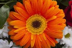 Πορτοκαλιά κινηματογράφηση σε πρώτο πλάνο gerbera στα πέταλα λουλουδιών με τις πτώσεις νερού Στοκ Φωτογραφία