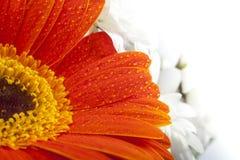 Πορτοκαλιά κινηματογράφηση σε πρώτο πλάνο gerbera στα πέταλα λουλουδιών με τις πτώσεις νερού Στοκ φωτογραφίες με δικαίωμα ελεύθερης χρήσης