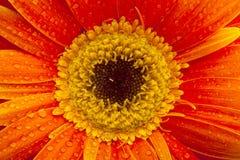Πορτοκαλιά κινηματογράφηση σε πρώτο πλάνο gerbera στα πέταλα λουλουδιών με τις πτώσεις και το flo νερού Στοκ εικόνα με δικαίωμα ελεύθερης χρήσης