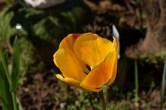 ` Πορτοκαλιά κόκκινη κίτρινη πορτοκαλιά τουλίπα συντριβής ` Varigated απεικόνιση αποθεμάτων