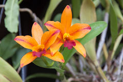 Πορτοκαλιά λουλούδια ορχιδεών Στοκ Εικόνες