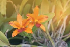 Πορτοκαλιά λουλούδια ορχιδεών Στοκ φωτογραφία με δικαίωμα ελεύθερης χρήσης