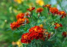 Πορτοκαλιά λουλούδια που εκτίθενται λεπτομερώς στον κήπο στοκ εικόνα με δικαίωμα ελεύθερης χρήσης