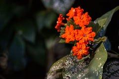 Πορτοκαλιά λουλούδια σε ένα geiger sebestena Cordia δέντρων Στοκ φωτογραφίες με δικαίωμα ελεύθερης χρήσης