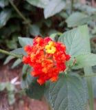 Πορτοκαλιά λουλούδια Σρι Λάνκα Στοκ Εικόνες