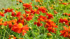 Πορτοκαλιά λουλούδια στη φύση απόθεμα βίντεο