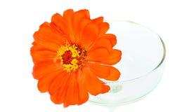 Πορτοκαλιά λουλούδια της Zinnia Στοκ Εικόνες