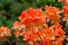Πορτοκαλιά λουλούδι και δέντρο του καλοκαιριού στοκ φωτογραφίες με δικαίωμα ελεύθερης χρήσης