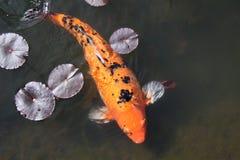 πορτοκαλιά μαξιλάρια κρίν&o Στοκ Φωτογραφίες