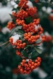 Πορτοκαλιά μούρα θάμνων χιονιού με το πράσινο φύλλωμα στοκ εικόνες με δικαίωμα ελεύθερης χρήσης