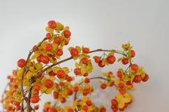 Πορτοκαλιά μούρα Celastrus Scandens στο άσπρο υπόβαθρο στοκ εικόνα