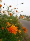 Πορτοκαλιά οδική πλευρά λουλουδιών Στοκ φωτογραφίες με δικαίωμα ελεύθερης χρήσης