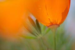 πορτοκαλιά παπαρούνα Στοκ φωτογραφίες με δικαίωμα ελεύθερης χρήσης