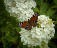 Πορτοκαλιά πεταλούδα στο λουλούδι στοκ φωτογραφία