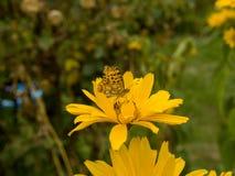Πορτοκαλιά πεταλούδα στο λουλούδι στοκ φωτογραφίες με δικαίωμα ελεύθερης χρήσης