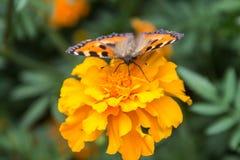 Πορτοκαλιά πεταλούδα στο λουλούδι Στοκ Φωτογραφίες
