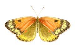Πορτοκαλιά πεταλούδα Watercolor συρμένος εικονογράφος απεικόνισης χεριών ξυλάνθρακα βουρτσών ο σχέδιο όπως το βλέμμα κάνει την κρ στοκ φωτογραφία με δικαίωμα ελεύθερης χρήσης