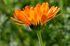 Πορτοκαλιά πυράκτωση 02 ηλιοφάνειας λουλουδιών Calendula Στοκ Φωτογραφία