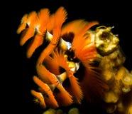 Πορτοκαλιά σκουλήκια χριστουγεννιάτικων δέντρων υποβρύχια στοκ εικόνες με δικαίωμα ελεύθερης χρήσης