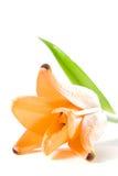 πορτοκαλιά τίγρη κρίνων Στοκ φωτογραφία με δικαίωμα ελεύθερης χρήσης