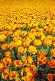 πορτοκαλιά τουλίπα Στοκ Φωτογραφία