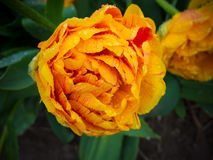 Πορτοκαλιά τουλίπα Στοκ Εικόνες