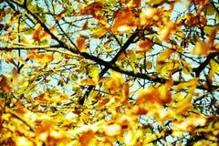Πορτοκαλιά φύλλα δέντρων φθινοπώρου, θολωμένο φυσικό υπόβαθρο φθινοπώρου οικολογίας στοκ εικόνα με δικαίωμα ελεύθερης χρήσης
