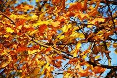 Πορτοκαλιά φύλλα φθινοπώρου, θολωμένο φυσικό υπόβαθρο φθινοπώρου οικολογίας στοκ φωτογραφία με δικαίωμα ελεύθερης χρήσης