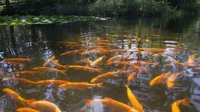 Πορτοκαλιά ψάρια Koi στη λίμνη απόθεμα βίντεο