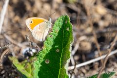 Πορτοκαλιά cardamines πεταλούδων ή Anthocharis ακρών Στοκ Εικόνες