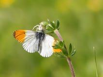 Πορτοκαλιά cardamines Anthocharis πεταλούδων ακρών στο κεφάλι λουλουδιών στοκ εικόνες