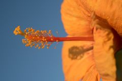 Πορτοκαλιά hibiscus με το μπλε ουρανό στοκ εικόνες με δικαίωμα ελεύθερης χρήσης