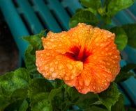 Πορτοκαλιά Hibiscus Στοκ φωτογραφίες με δικαίωμα ελεύθερης χρήσης