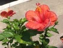 Πορτοκαλιά Hibiscus Στοκ Εικόνες