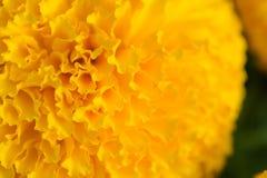 Πορτοκαλιά Marigolds ανθίζουν τους τομείς στοκ φωτογραφία