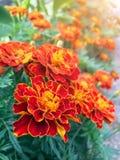 Πορτοκαλιά marigolds είναι ανθίζοντας αφειδώς στον κήπο Στοκ εικόνα με δικαίωμα ελεύθερης χρήσης