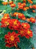 Πορτοκαλιά marigolds είναι ανθίζοντας αφειδώς στον κήπο Στοκ Εικόνες