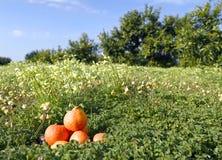 πορτοκαλιά tangerines πεδίων Στοκ Φωτογραφίες