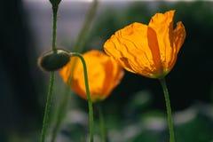Πορτοκαλιές άγριες παπαρούνες στοκ φωτογραφίες