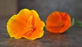 Πορτοκαλιές καλιφορνέζικες παπαρούνες σε ένα γκρίζο υπόβαθρο Στοκ Φωτογραφία