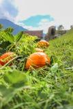 Πορτοκαλιές κολοκύθες Hokkaido που βρίσκονται σε ένα πράσινο fild για αποκριές στοκ εικόνα με δικαίωμα ελεύθερης χρήσης
