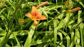 Πορτοκαλιοί κρίνοι σε ένα υπόβαθρο της πράσινης χλόης Φυσικό υπόβαθρο με το λουλούδι κρίνων άνθισης Πορτοκαλής κρίνος θολωμένος φιλμ μικρού μήκους