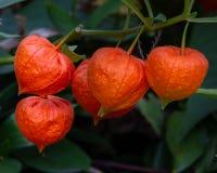 Πορτοκαλιοί λοβοί σπόρου του alkekengi physalis στοκ εικόνες με δικαίωμα ελεύθερης χρήσης