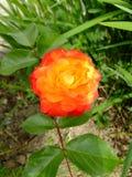 Πορτοκαλής δίχρωμος αυξήθηκε στοκ φωτογραφία με δικαίωμα ελεύθερης χρήσης