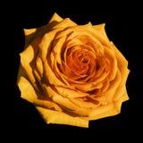 Πορτοκαλής αυξήθηκε απομονωμένο ο Μαύρος υπόβαθρο λουλουδιών με το ψαλίδισμα της πορείας Κινηματογράφηση σε πρώτο πλάνο καμία σκι Στοκ φωτογραφία με δικαίωμα ελεύθερης χρήσης