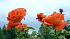Πορτοκαλής αυξήθηκε κινηματογράφηση σε πρώτο πλάνο ενάντια σε έναν μπλε ουρανό φιλμ μικρού μήκους
