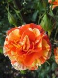 Πορτοκαλής αυξήθηκε με τους οφθαλμούς Στοκ Εικόνες