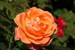 πορτοκαλής αυξήθηκε Στοκ Φωτογραφία