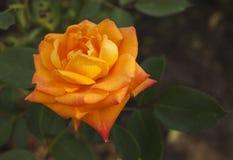 πορτοκαλής αυξήθηκε Στοκ Εικόνες